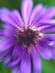 My last purple flower of the season (gdenuzzio12) Tags: macro closeup fall newhampshire cosmos purple flower garden