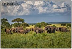 African Elephants 021816-2969-W-2.jpg (RobsWildlife.com © TheVestGuy.com) Tags: fineart tinyelephants babyelephant ivoryforelephants wildlifetours robswildlife elefantes 2016 elephantears ©robswildlifecom wildlifeprints africanelephants elephants savetheelephants africaivory loveelephants elephantobsession africansafari iphone animalprints elephantobsessed 96elephants tanzania outdoors nature animalart 021816 african robswildlifecom africa elephant endwildlifetrafficking robdaugherty africanelephant nationalpark stoppoaching wild africantours professional epicwildlifeadventures wildlifephotographer photography wildanimals wildlifeart thevestguycom canon 8016989080 mammal