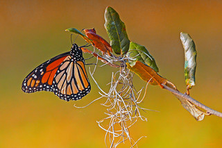 Monarch Still Hanging On