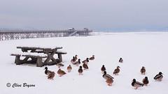 Winter at the Wharf (1). Salmon Arm, BC (clive_bryson) Tags: mallard thewharf salmonarm britishcolumbia canada clivebryson bench 169 winter