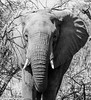 Kruger National Park, South Africa - Summer 2017-774.jpg (jbernstein899) Tags: africa elephants southafrica safari blackandwhite krugernationalpark bush