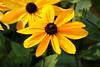 Rudbeckia (abrideu) Tags: abrideu canoneos100d flowers flower yellow rudbeckia macro depthoffield bright bokeh garden plant montreal canada ngc npc