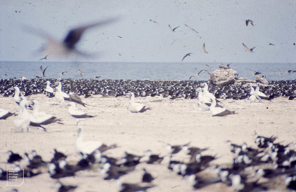 Latham Island. Spaced boobies ringed by close terns