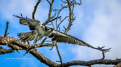 Osprey with Prey #9 (tclaud2002) Tags: osprey bird birdofprey predator raptor perch fly flying flight wildlife tree branch wings fish nature mothernature wildliferefuge hobesoundnationalwildliferefuge hobe florida usa
