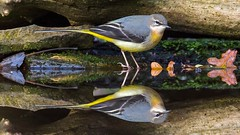 Grey Wagtail (Jez Nunn) Tags: greywagtailbirdnaturewildlifenikond7200reflection