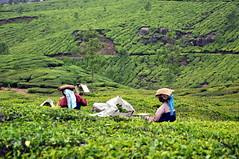 India - Kerala - Munnar - Tea Harvesting - 153 (asienman) Tags: india kerala munnar teaplantagen asienmanphotography