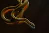 Northern Red Bellied Snake (jtr27) Tags: dscf4106xle jtr27 fuji fujifilm fujinon vivitar komine 55mm f28 macro manualfocus northern red bellied redbelly snake reptile minolta md sr mount