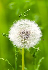 Found dandelion (vinnie saxon) Tags: dandelion season colors bokeh bokehlicious flower nature nikoniste nikon green white
