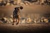 Frenzy (matthiasstiefel) Tags: dog bayrischergebirgsschweishund bgs running hund rennen france frankreich pasdecalais