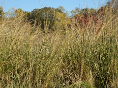 Tall Grass And Trees. (dccradio) Tags: lumberton nc northcarolina robesoncounty outside outdoors autumn fall tree trees foliage leaf leaves nature natural beauty sky bluesky tallgrass field grass weeds nikon coolpix l340 bridgecamera