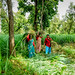 Women harvesting lemongrass