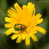Jewel beetle? (kimbenson45) Tags: aster beetle closeup colorful colors colourful colours daisy differentialfocus flower green insect iridescence iridescent jewel macro nature outdoors petals plant shallowdepthoffield wildlife yellow