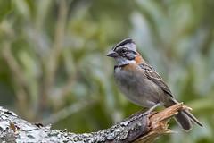 Rufous-collared Sparrow (fernaabs) Tags: rufouscollaredsparrow zonotrichiacapensis comemaiz aves passeriformes emberizidae zonotrichia fernaabs burgalin avesdecostarica