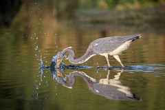 Performance Art (gseloff) Tags: tricoloredheron bird fishing feeding striking water nature wildlife horsepenbayou pasadena texas kayakphotography gseloff