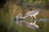 Performance Art (gseloff) Tags: tricoloredheron bird fishing feeding striking water nature wildlife horsepenbayou pasadena texas kayakphotography gseloff