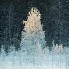 Sparkling #: Riddarhyttan, Sweden (Tankartartid) Tags: snö glitter frostigt träd natur nature nordic norden europe sverige sweden frost frosty snow sparkling trees vinter winter instagram ifttt