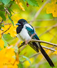 Miss Magpie beauty queen (m3dborg) Tags: bird birds animal animals nature wildlife wilderness outdoor outdoors tree branch branches leaf leaves green red yellow white background cute avian garden wing beak colorful feathers ornithology beautiful wings magpie pica skata