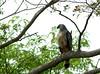 Savanna Hawk (helmutnc) Tags: hennysanimals hg specanimal sweetfreedom