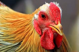 Hallo, ich bin das Huhn. Du sieht ja nett aus...