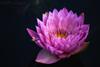 Coral Sky (Ben-ah) Tags: waterlily coralsky nymphaea nybg newyorkbotanicalgarden macro bee flower pink coral pond pistil stamen