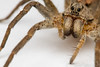 wolf spider (shaye_byles) Tags: wolf spider insect bug venom fangs australia sydney hilltop closeup macro canon 7d mt24ex