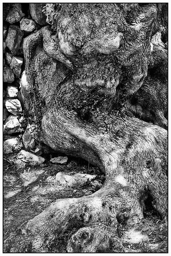 Ancient olive tree (detail)