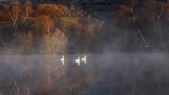 Swan Lake (Lindi m) Tags: wales llanberis swans earlymorning dawn mist llynpadarn autumn reflections