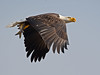 Bald Eagle with Fish (Brian E Kushner) Tags: american baldeagle bald eagle fish fishing raptor wings talon beak king flying flight inflight haliaeetusleucocephalus conowingo dam conowingodam darlington md maryland d5 nikond5 bird birds bkushner wildlife animals birdwatcher ©brianekushner nikonafsnikkor800mmf56efledvrlens nikon afs nikkor 800mm f56e fl ed vr lens