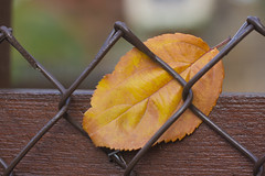 One single leaf trapped... (Karon Elliott Edleson) Tags: happyfencefriday leaf onesingleleaf 7dwf fridayflora smileonsaturday closeup 60mm tamron texture
