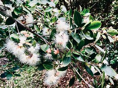 Syzygium australe - Brush Cherry, Creek Satinash (Black Diamond Images) Tags: syzygium syzygiumaustrale myrtaceae brushcherry creeksatinash arfp nswrfp qrfp subtropicalarf warmtemperatearf littoralarf dryarf arfrheophyte rnrfgdb rnrfgdbarfp arfflowers whitearfflowers australianrainforestplants australianrainforestplant rainforestplant rainforestplants australianplants australiannativeplants australiannativeplant diamondbeach hallidayspoint nsw appleiphone7plus iphone7plus iphone