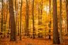 Autumn Colours (at1503) Tags: welltaken sunlight sun sunset nature light forest trees fallenleaves leaves uk england norfolk red orange yellow thetfordforest autumn colours vibrant november