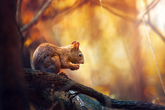 Lunch break (Pásztor András) Tags: nature squriell forest wild eat walnut cute leafs dof blur background green yellow red tree dslr nikon d700 hungary andras pasztor photography 2017