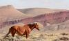 Windhorse (chad.hanson) Tags: mustangs wildhorses wildlife wyoming stewartcreekhma