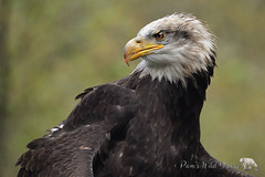 On Guard (PamsWildImages) Tags: baldeagle bird britishcolubia canada canon raptor nature naturephotographer wildlife wildlifephotographer pammullins pamswildimages