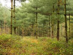 Conifers (joeke pieters) Tags: 1370212 panasonicdmcfz150 boom bomen tree trees naalbomen conifers groen green