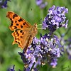 Lavender Days (Eleanor (No multiple invites please)) Tags: commabutterfly lavender kensingtongardens london nikond7100 june2017 ngc