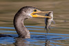 The Loch Ness Monster Lives! (Jasper's Human) Tags: cormorant fish eat bird riparianpreserveatwaterranch