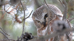 Petite Nyctale_070A6231v3 (d.jauvin) Tags: hibou chouette québec petitenyctale northernsawwhetowl aegoliusacadicus