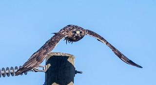 IMG_1501 Rough Legged Hawk at Tantramar Marsh