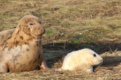Donna Nook NNR - Grey Seal pupping and breeding season (kitmasterbloke) Tags: donnanook naturereserve greyseal seals beach breeding pups cute wildlife lincolnshire uk outdoor nature
