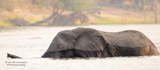 African Savanna Elephant in the River at Chobe National Park, Botswana