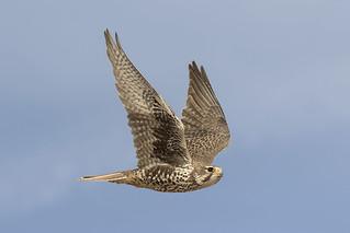 _31A4783 Prairie Falcon
