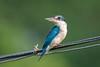 Collared Kingfisher (BP Chua) Tags: kingfisher collared blue nikon d750 600mm chinesegarden singapore nature animal wild wildlife birdphotography birdlover birdphoto asia