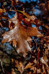 2016 Fall Leaf 48 (DrLensCap) Tags: caldwell woods chicago illinois fall colors il af cook county forest preserve district preserves robert kramer