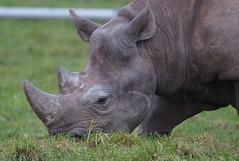 Yorkshire Wildlife Park 05.12.17 028 (Andrew Burling (SnapAndy1512)) Tags: yorkshirewildlifepark051217 rhino blackrhino animals zoo yorkshire yorkshirewildlifepark