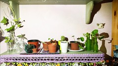 (▲ Black Orchid ♫) Tags: shelf garden nature green plants aloe succulents cactus cacti love bedroom skull ivy growing angel