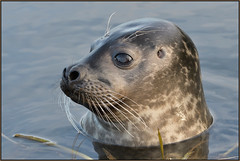 Harbour Seal (image 3 of 3) (Full Moon Images) Tags: houghton mill nt national trust wildlife nature river great ouse cambridgeshire animal mammal common harbour seal