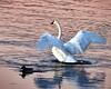 Sunset fun (slmarshall365) Tags: swan lake nature ducks water lakefront white peaceful elegant flapping wildlife ontario