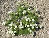 Plants_OB_151 (NRCS Montana) Tags: arenaria hookeri hookers sandwort plants