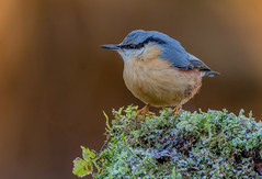 JWL4010 Nuthatch.. (jefflack Wildlife&Nature) Tags: nuthatch nuthatches birds avian animal animals wildlife wildbirds woodlands gardenbirds forest trees hedgerows countryside copse nature ngc
